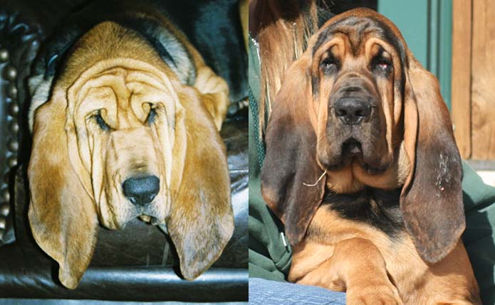To A Reble Bloodhound Breeder Please Send Us An Email We Will Offer Some Suggestions